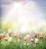 śródpolny tulipan Obraz Stock