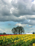 śródpolny tulipan Obrazy Stock