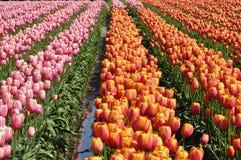 śródpolny tulipan Fotografia Royalty Free