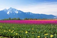 śródpolny tulipan Zdjęcia Royalty Free
