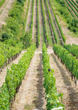 śródpolny winogrono Zdjęcia Stock