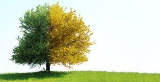śródpolny zielony drzewo Fotografia Stock
