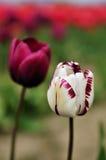 śródpolnych purpurowych skagit tulipanów dolinny biel Zdjęcie Royalty Free