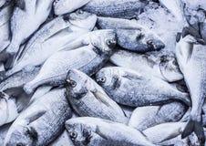 Śródziemnomorska dorado ryba Zdjęcia Stock