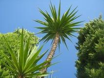 Śródziemnomorski drzewko palmowe zdjęcie royalty free