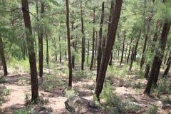 Śródziemnomorski iglasty las zdjęcie stock
