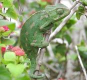 Śródziemnomorski kameleon obraz stock
