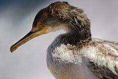 Śródziemnomorski kormoran Fotografia Royalty Free