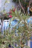 Śródziemnomorski kwiatu oleander w ogródzie grecka kawiarnia obrazy royalty free