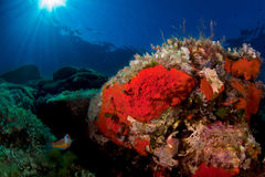 śródziemnomorski sealife Fotografia Royalty Free