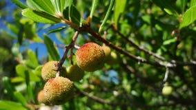 Śródziemnomorski truskawkowego drzewa Arbutus Unedo Obraz Royalty Free