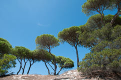 Śródziemnomorskie parasol sosny Obraz Stock