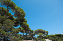 Śródziemnomorskie parasol sosny Zdjęcia Stock