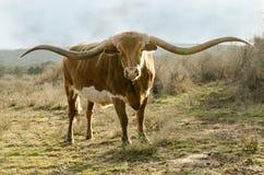 róg tęsk Texas obrazy royalty free