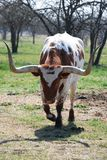 róg tęsk Texas Obrazy Stock