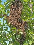 rój pszczół Zdjęcia Royalty Free
