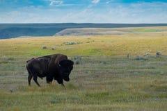 Równiny żubr, bizon w obszaru trawiastego parku narodowym obrazy stock