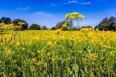 Równiny Coreopsis Żółty Wildflower w Teksas (Coreopsis tinctoria) zdjęcie royalty free