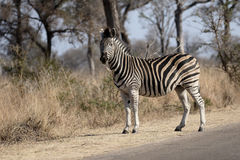Równiny lub Burchells zebra, Equus kwaga obraz royalty free