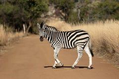 Równiny lub Burchells zebra, Equus kwaga zdjęcia stock