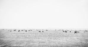 Równiny Serengeti w Tanzania fotografia royalty free