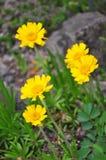 Równiny stokrotki Tetraneuris żółty scaposa zdjęcie stock