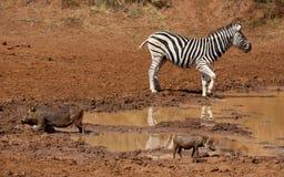 Równiny warthog przy waterhole i zebra Fotografia Royalty Free