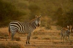 równiny zebra zdjęcie stock