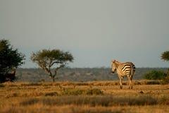 równiny zebra zdjęcie royalty free