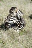 Równiny zebra, Addo słonia park narodowy obrazy royalty free