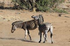 Równiny zebra Equus kwaga, (pospolita zebra lub Burchell zebra) Zdjęcie Stock
