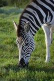 Równiny zebra foraging w Addo słonia parku narodowym fotografia stock