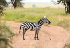 Równiny zebra na drodze na Afrykańskim safari obraz stock