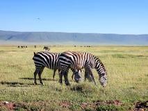 Równiny zebra, Ngorongoro krater, Tanzania obraz stock