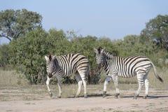 Równiny zebra patrzeje kamerę Zdjęcie Royalty Free