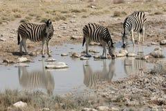 Równiny zebra, Pospolita zebra lub Burchells zebra, Equus kwaga fotografia royalty free