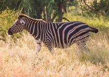 Równiny zebra przy Kruger parkiem narodowym obraz royalty free