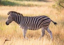 Równiny zebra przy Kruger parkiem narodowym zdjęcie stock