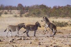 Równiny zebra w Kruger parku narodowym, Południowa Afryka obraz royalty free