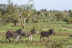Równiny zebra w Kruger parku narodowym, Południowa Afryka Zdjęcie Royalty Free