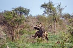 Równiny zebra w Kruger parku narodowym, Południowa Afryka Obraz Stock