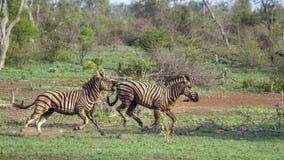 Równiny zebra w Kruger parku narodowym, Południowa Afryka Obrazy Royalty Free