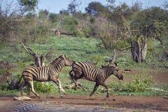 Równiny zebra w Kruger parku narodowym, Południowa Afryka Zdjęcia Royalty Free