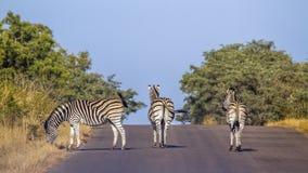 Równiny zebra w Kruger parku narodowym, Południowa Afryka Zdjęcie Stock