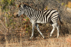Równiny zebra w krzaku fotografia stock