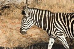 Równiny zebra w krzaku fotografia royalty free
