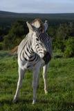 Równiny zebry źrebię w Addo słonia parku narodowym zdjęcia royalty free