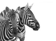 Równiny zebry, Equus kwaga Fotografia Royalty Free