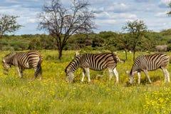 Równiny zebry Equus kwaga fotografia royalty free