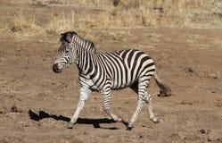 Równiny zebry, Equus kwaga, biega blisko wodopoju Zdjęcia Royalty Free